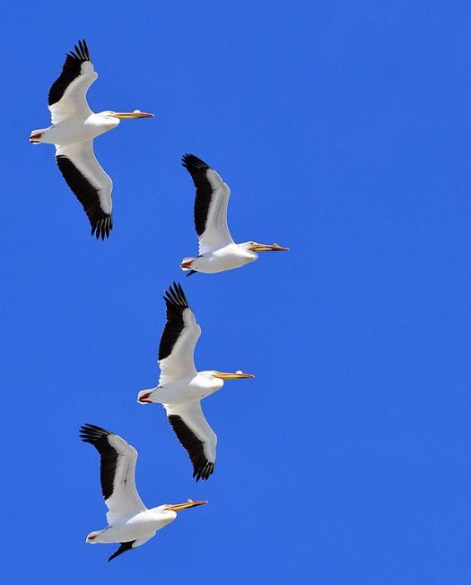 American_white_pelicans_flying_over_Chase_Lake_NWR_(16195343458)